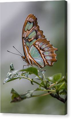 Malachite Butterfly Profile Canvas Print