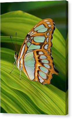 Malachite Butterfly (siproeta Stelenes) On Rhapis Palm Leaves (rhapis Excelsa) Canvas Print by Darrell Gulin