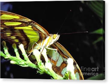 Malachite Butterfly Canvas Print by Thomas R Fletcher