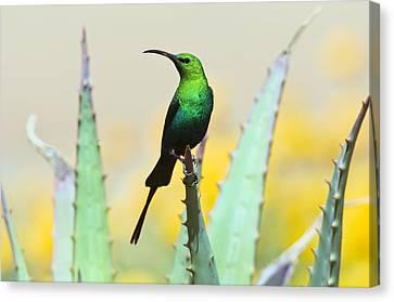 Malachite Sunbird Male Canvas Print