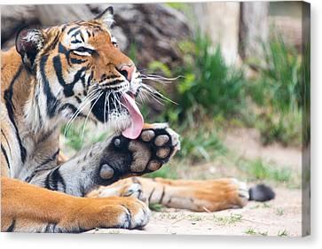 Malayan Tiger Grooming Canvas Print