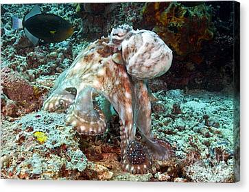 Malaysia, Octopus Canvas Print by Dave Fleetham - Printscapes