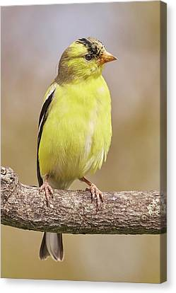 Male American Goldfinch In Early Spring Canvas Print by Jim Hughes