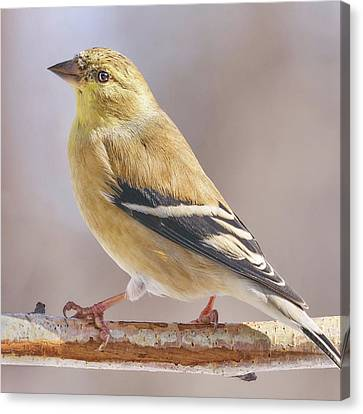 Male American Goldfinch In Winter Canvas Print by Jim Hughes