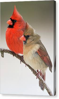 Male And Female Northern Cardinals On Pine Branch Canvas Print