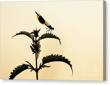 Male Banded Demoiselle At Sunset Canvas Print