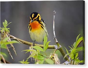 Male Blackburnian Warbler Canvas Print by Gary Hall