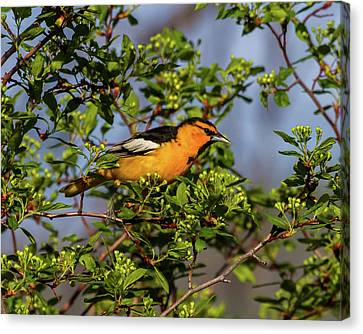Male Bullock's Oriole Canvas Print by TL Mair