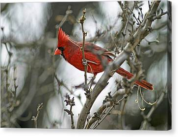Male Cardinal Canvas Print by Gregory Scott