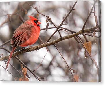 Cardinalis Canvas Print - A Cardinal Stays Warm by Jim Hughes