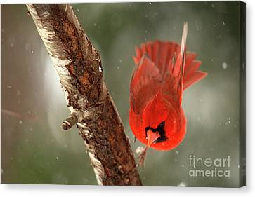 Canvas Print featuring the photograph Male Cardinal Take Off by Darren Fisher