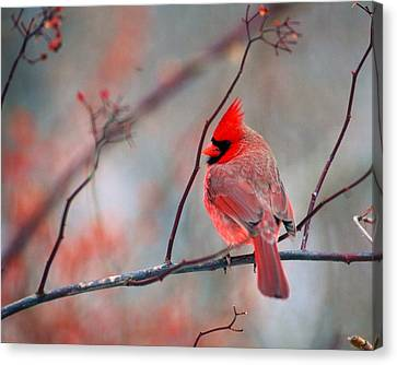 Male Cardnal Canvas Print by Terry Dickinson