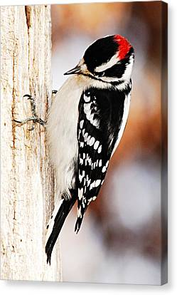 Male Downy Woodpecker 3 Canvas Print by Larry Ricker