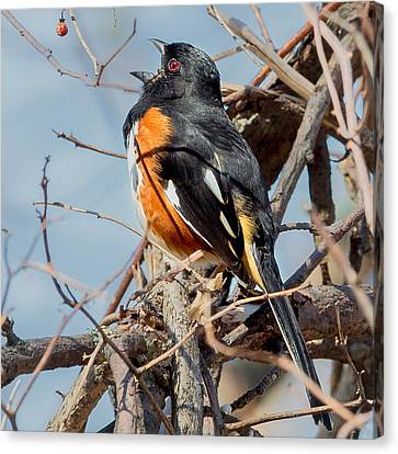 Male Eastern Towhee Square Canvas Print