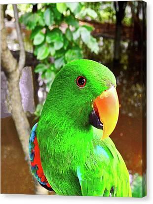 Male Eclectus Parrot II Canvas Print