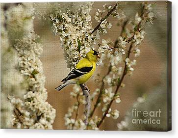 Male Finch In Blossoms Canvas Print by Cathy  Beharriell