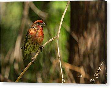 Male Finch In Red Plumage Canvas Print by Angela A Stanton