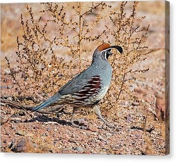 Male Gambels Quail Canvas Print