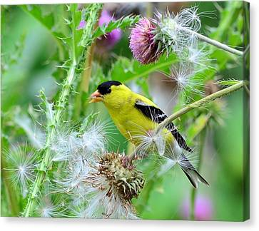 Male Goldfinch Canvas Print
