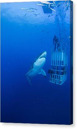 Hammerhead Shark Canvas Print - Male Great White With Cage, Guadalupe by Todd Winner