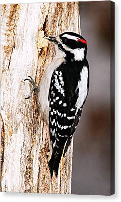 Male Hairy Woodpecker Canvas Print by Larry Ricker