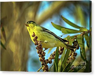 Male  Lesser Goldfinch Canvas Print by Robert Bales