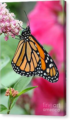 Male Monarch Canvas Print by Steve Augustin