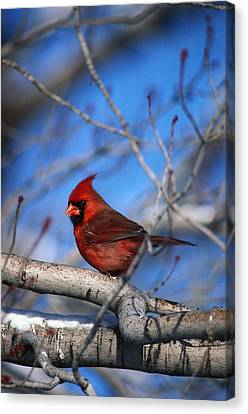 Male Northern Cardinal Bird Canvas Print by Natural Selection David Spier