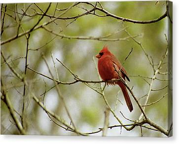 Male Northern Cardinal Canvas Print by Michael Peychich