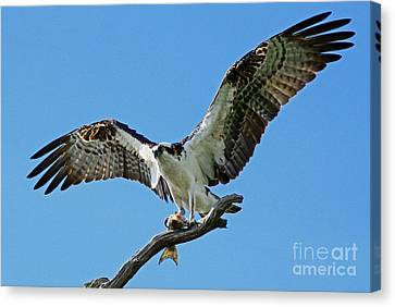 Male Osprey Canvas Print by Larry Nieland