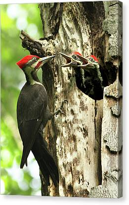Pileated Woodpecker Canvas Print - Male Pileated Woodpecker At Nest by Mircea Costina Photography