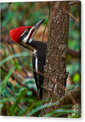 Male Pileated Woodpecker Canvas Print by Robert L Jackson
