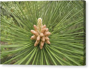 Male Pine Cones  Canvas Print by Michael Peychich