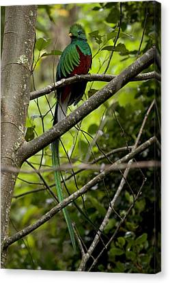 Male Resplendent Quetzal Canvas Print by Roy Toft