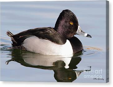 Male Ring Necked Duck Canvas Print