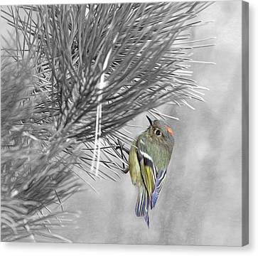 Male Ruby-crowned Kinglet Canvas Print