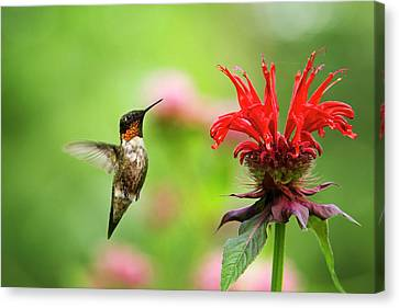 Humming Birds Canvas Print - Male Ruby-throated Hummingbird Hovering Near Flowers by Christina Rollo