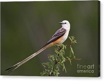 Male Scissor-tail Flycatcher Tyrannus Forficatus Wild Texas Canvas Print by Dave Welling