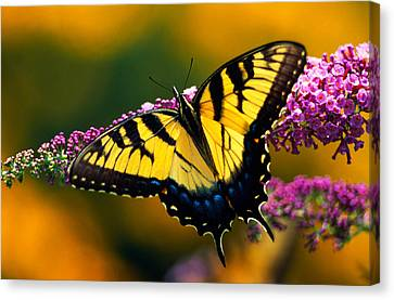 Tiger Swallowtail Canvas Print - Male Tiger Swallowtail Butterfly On by Panoramic Images
