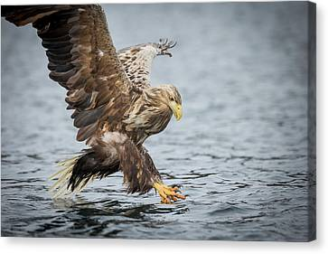 Male White-tailed Eagle Canvas Print by Andy Astbury