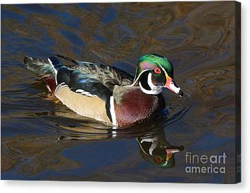 Male Wood Duck Drake Canvas Print by Merrimon Crawford