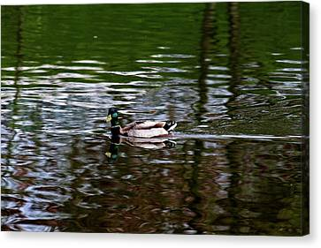 Mallard Canvas Print by Bonnie Bruno