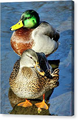 Mallard Couple Canvas Print