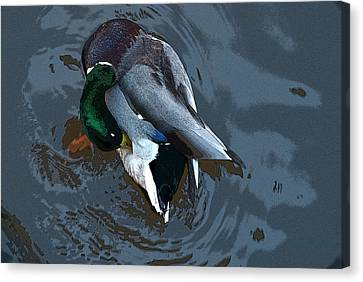 Mallard  Canvas Print by Don  Wright