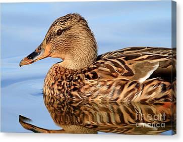 Bif Canvas Print - Mallard Duck . 7d4947 by Wingsdomain Art and Photography