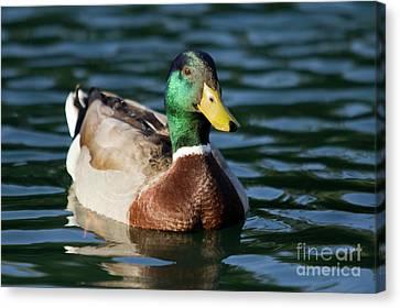 Mallard Duck Canvas Print - Mallard Duck In Pond by Dustin K Ryan