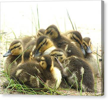 Canvas Print featuring the photograph Mallard Ducklings by Angie Rea