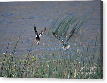 Canvas Print featuring the photograph Mallard Ducks - Nelson Resevior White Mountains by Donna Greene