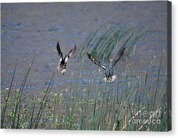 Mallard Ducks - Nelson Resevior White Mountains Canvas Print by Donna Greene