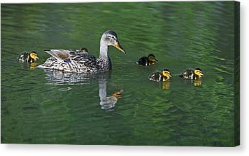 Mallard Hen And Her Ducklings Out For A Swim Canvas Print